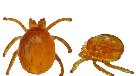 Chapter 1: Basics of scrub typhus and chigger mite vector