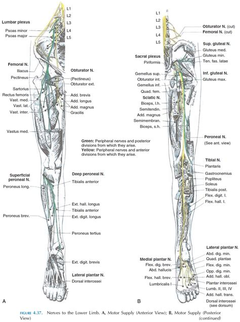 Muscles Of The Lower Limb - Origin and Insertion of Muscles